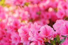 つつじの花 愛の喜び 情熱 初恋