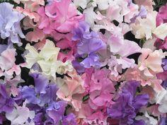 Pastel Sweet Peas at the Chelsea Flower Show #PrintspireUs