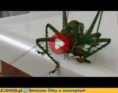 Red Eyed Devil Katydid « Inne zwierzęta « Śmieszne filmy o zwierzętach - śmieszne koty, śmieszne psy. Zoomia.pl :: Zoomia pl