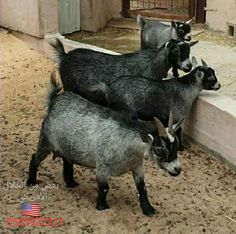 Goats, Places To Visit, Animals, Animales, Animaux, Animal, Animais, Dieren