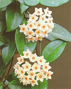 Viaszvirág (Hoya sp.)