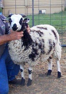 Jacob Sheep - heritage breed - biblical history - Good Fiber & Meat Quality