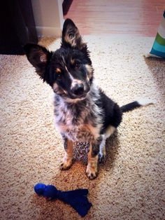 Border Collie/Blue Heeler mix so cute 😀 Cute Dogs And Puppies, Baby Dogs, I Love Dogs, Pet Dogs, Doggies, Cute Little Animals, Baby Animals, Collie Dog, Dog Mom