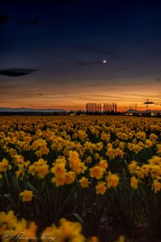 Field of Daffodil under the Crescent Moon - It was taken on March, 29th, 2017 just after sunset at the Skagit Valley in Washington State, US.