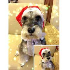 Schnauzer Christmas!!! Merry Christmas to all and to all a good night! hoHoHo!