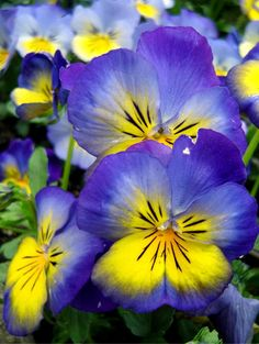 yellow and indigo pansies
