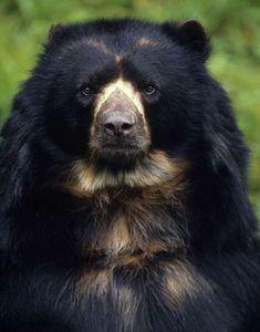 WWF Bolivia - Spectacled Bear