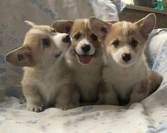 There's nothing cuter than a Welsh Corgi pup.  They are SOOOO intelligent and loving.
