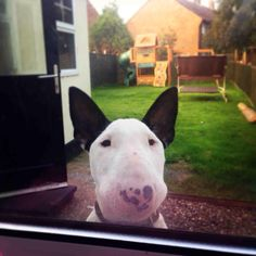 """""""I'm bored out here, can I come in now?"""" #bullterrier #dogs"""