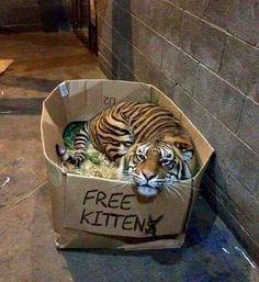 Clint: Katzenbilder - Animals and pets Cute Funny Animals, Cute Baby Animals, Animals And Pets, Cute Cats, Funny Cats, Funny Tiger, Funny Jokes, Beautiful Cats, Animals Beautiful