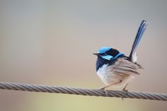https://flic.kr/p/yRc7a2   Superb Fairy-Wren: Male   Superb Fairy-wren,Malurus cyaneus +========================+ Been wanting to make some highkey portraits for awhile. This morning the air was still and we had fog along the river, prefect backdrop and light for Highkey.