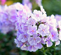 Garden Phlox. Beautiful and fragrant.
