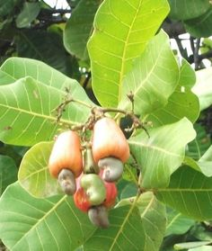 Cashew apples on tree