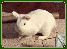 Meet Oscar! #rabbit #rescue #bunnies #adoptdontshop
