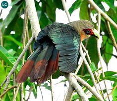 ☎️ https://www.facebook.com/WonderBirdSpecies/ 🌈🌈 Chestnut-breasted malkoha (male)(Phaenicophaeus curvirostris); Southeast Asia; 📚 IUCN Red List of Threatened Species 3.1 : Least Concern (LC)(Loài ít quan tâm) 🐥 Phướn ngực hạt dẻ (trống); Đông Nam Á; HỌ CU CU - CUCULIDAE (Cuckoos).