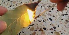 Avez-vous déjà essayé de brûler des feuilles de laurier ? En voici quelques-uns des nombreux avantages pour la santé.