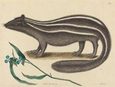 The Pole Cat (Viverra putorius) ~ Mark Catesby
