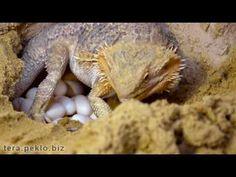 Bearded dragon laying eggs