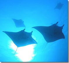 Big Island, Hawaii  - Manta Ray Night Dive & Snorkel