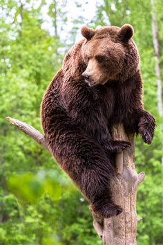 Brown bear sitting on top of the tree by Dmitri Gomon