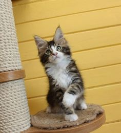 New!!!elite Maine Coon Kitten From Europe With Excellent Pedigree. In Excellent Breed Type. Male. Henkok in - Hoobly Classifieds