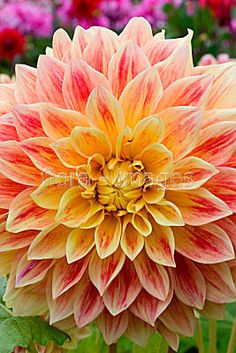 Dahlia 'Explosion'would make a very cool quilted wall hanging Flora Flowers, Beautiful Flowers, Rare Flowers, My Flower, Flower Power, Herbaceous Perennials, Zinnias, Dream Garden, Mother Nature