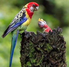 Eastern Rosella and chick