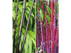 Winterharte Bambus-Kollektion, 2 Pflanzen Schwarzer Bambus Black Bamboo und Roter Bambus Asian Wonder 1