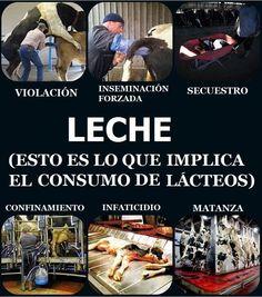 Milk (this is what consumption of dairy implicates) #Lácteos #ExplotacionAnimal #Especismo