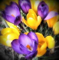 Yellow and Purple by Grant MacDonald, #Flowers #Crocus