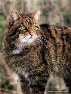 howtoskinatiger:  Scottish Wildcat by TheStaggeringGenius on Flickr.