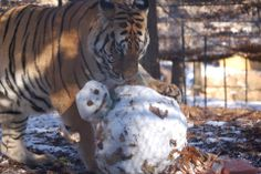 """""""Golden takes down his snowman!... We had some fun during our recent snow making snowballs & snowmen for some of our big cats. Golden's snowman was made with sweetgum tree ball eyes, mulch bit nose, stick mouth, Christmas tree branch neck accent, and most importantly, a chicken wing hat... all dusted with a bit of catnip. He had a lot of fun with it! www.Noahs-Ark.org"""" I left the original caption, but WOW! CANNOT WAIT FOR SNOW! But, who's going to drive me???"""