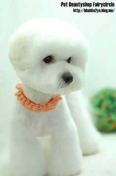 Now this is a cute bichon cut!