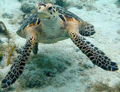 Hawksbill Turtle, Deep sea Turtle, Ocean Animals, Sea Monsters, Sea habitat, Sea Animals