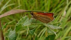 Butterfly, moth, Holland, Heemskerk 2016