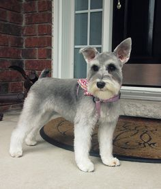 Just a baby girl Schnauzer that I groom. She is saucy and fun just like a Schnauzer should be; Schnauzer Grooming, Miniature Schnauzer Puppies, Schnauzer Puppy, Cute Dogs And Puppies, I Love Dogs, Doggies, Dog Haircuts, Goldendoodle Haircuts, Dog Grooming Styles