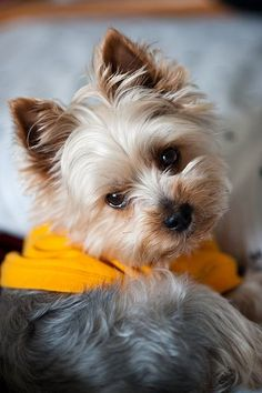 Find Out More On The Tenacious Yorkshire Terrier Pup Health Yorkies, Puppies And Kitties, Yorkie Puppy, Cute Puppies, Cute Dogs, Poodle Puppies, Lab Puppies, Perros Yorkshire Terrier, Yorshire Terrier