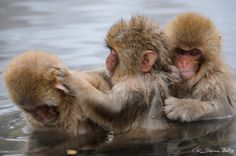 Snow monkeys in a hot spring (Japanese macaque, Macaca fuscata). Jigokudani Yaen-Koen near Shibu Onsen, Japan.