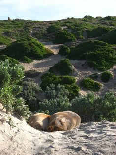 Seal Bay Kangaroo Island #travelpinspiration