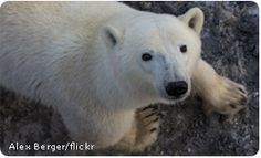 TAKE ACTION | HELP Alaska's Polar Bears Win Against Big Polluters!! PLEASE SIGN, NOTE & SHARE! Unless Big Polluters and their allies in Congress stop attacking the Environmental Protection Agency, the President may not be able to put his new plan into action--and it could be too late for our polar bears. HELP THEM!