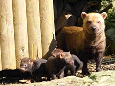 On October 21, three South American Bush Dogs, a Near Threatened species, were born at Twycross Zoo in the UK!