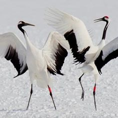 Red-crowned Cranes Dance on Hokkaido Kinds Of Birds, All Birds, Little Birds, Pretty Birds, Beautiful Birds, Crane Dance, Japanese Crane, Crane Bird, Strange Photos