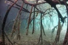 mangrove roots - Google Search