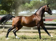 Hackney horse. The common colors are black, brown, bay and chestnut, and there are even some spotted Hackneys... brown