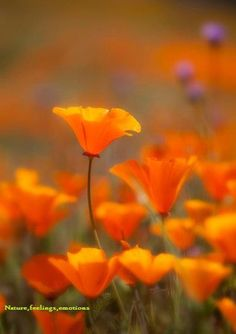 California Poppies, one of my favorite flowers
