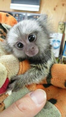 common white tuft marmoset monkey Animals I want