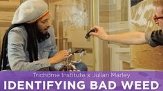 Watch How to Tell If Your Weed is Bad with Julian Marley (Trichome Institute)