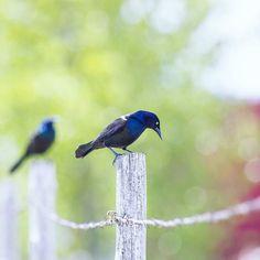 Sometimes we dont notice.. but there are so many #beautiful #birds all around us. . #birds #birdsofinstagram #naturalbeauty #naturephotography #naturelovers #nature #hangingout #chilling #igbirds #southdakota #rapidcity #fence #onthefence #birdphoto #ourplanet #wildlife #photooftheday #instadaily #instagood #wednesdaywisdom