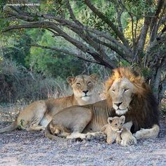 The lion population has declined a staggering 80-90% since 1975. In the 1940's it was estimated there were 450000 lions; 1990's 50000. Today the lion population is estimated to be down to 20000 according to National Geographic. Some of the main reasons for the decline are loss of habitat due to increase in human population; prey decline and poaching. #Biodiversity #Preservation #SolarEnergy #nutrientrecycling #Wildlife #Conservation #education #sustainability #Lions #Africa #extinction…