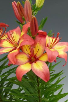 The Lily Nook - Division I: Asiatics lilies pot or border Exotic Flowers, Tropical Flowers, Amazing Flowers, Pretty Flowers, Flower Background Wallpaper, Flower Phone Wallpaper, Flower Backgrounds, Tiger Lily Flowers, Asiatic Lilies